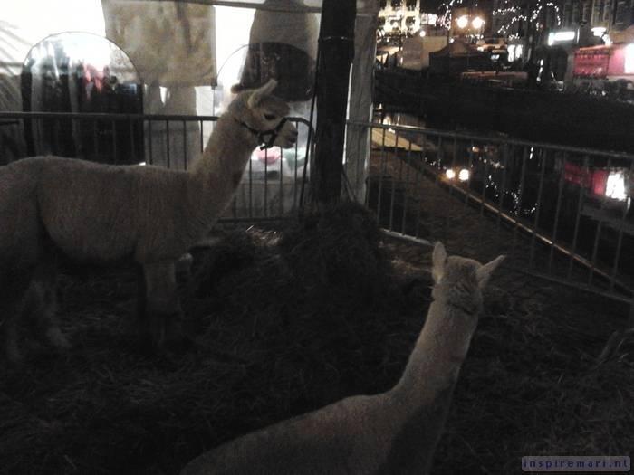 Christmas Market Alpacas