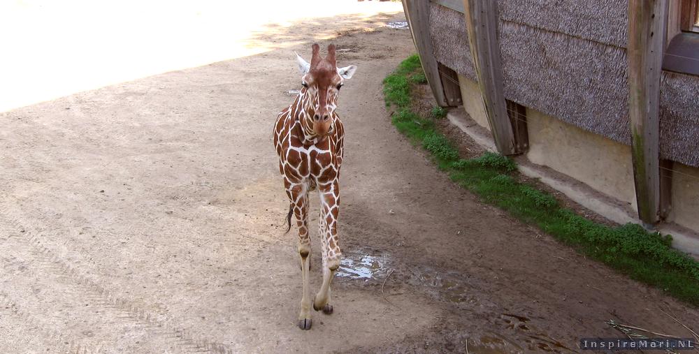 Rotterdam Blijdorp Zoo 2015 Giraffe