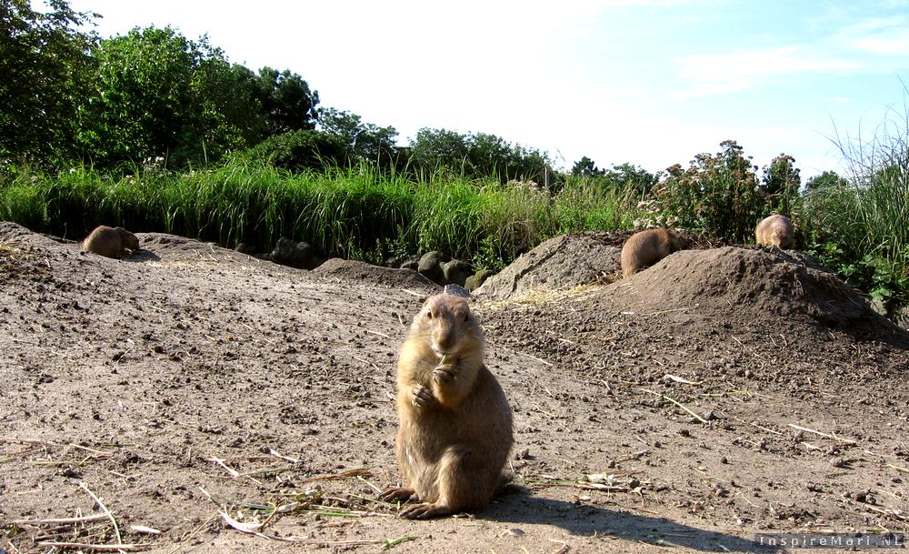 Rotterdam Blijdorp Zoo 2015 prairie dogs